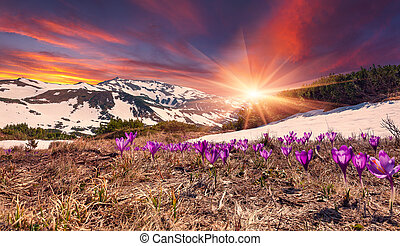 Field of blooming crocuses in the spring in the mountains....