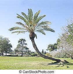 Palm at Ramat hanadiv, Israel