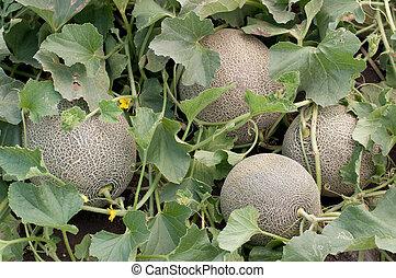 Melones, jardín