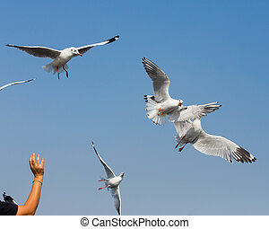 flying seagulls in action at Bangpoo Thailand