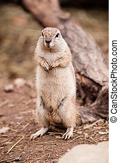 Cape Squirrel - Standing Cape Squirrel on dirt in ZOO Czech...