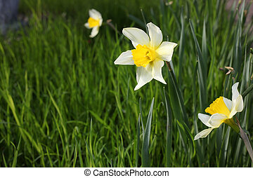 blossom flowers narcissus in green grass outdoors