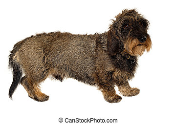 Dachshund dog on white background - Dachshund dog is...
