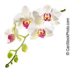 white with red phalaenopsis with is isolated on white...