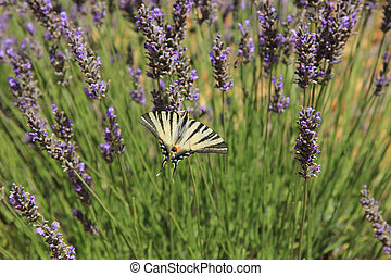Butterfly on lavender, Papilio machaon - Butterfly - Papilio...