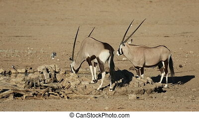 Gemsbok antelopes Oryx gazella, Kalahari desert, South...