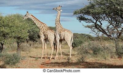 Giraffe interaction - Giraffe bull Giraffa camelopardalis...