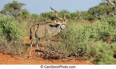 Kudu bull feeding - A kudu bull (Tragelaphus strepsiceros)...