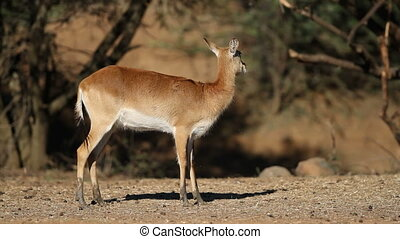 Red lechwe antelope - Female red lechwe antelope (Kobus...