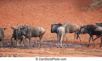 Wildebeest at waterhole - Blue wildebeest (Connochaetes...