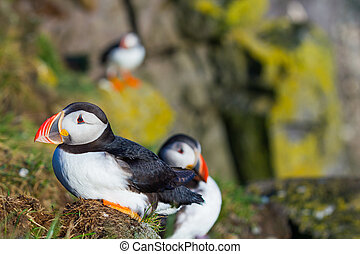 puffin - Puffin standing on a grassy cliff, sea as...