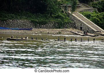 cormorants - Cormorants used for fishing on the Li river,...