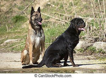 young rottweiler and malinois - portrait of a purebred...