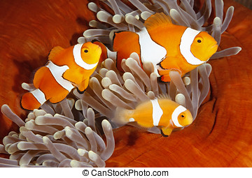 Clownfish Family - A family of Clown Anemonefish, Amphiprion...
