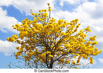 Indian yellow flowers Blossom on the tree follows the...