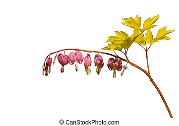 Dicentra spectabilis - Isolated Dicentra spectabilis on...