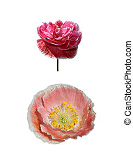 Two papaver isolated on white background