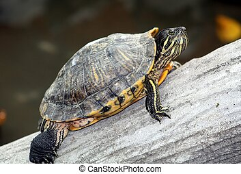 Turtle, red-eared slider TU-2311 - The Red-Eared Slider...