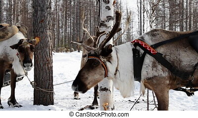 Reindeers - Reindeer wearing traditional harness