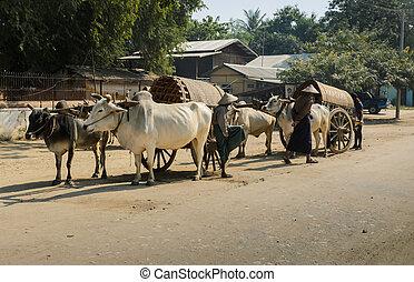 Mingun cow Taxi, Myanmar - Traditional bullock tourist cart...