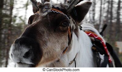 Reindeers - Reindeer  wearing traditional harness.