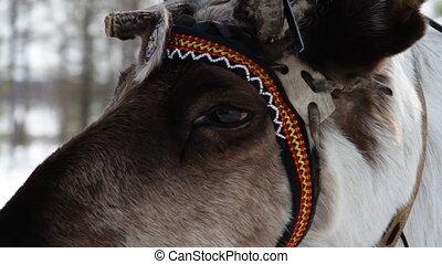 Reindeers - Reindeer wearing traditional harness