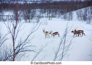 Reindeer. - Reindeer standing in the snow. Winter forest in...