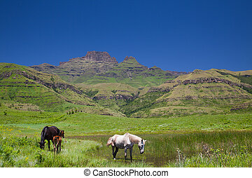 Horses grazing in a mountain paddock - Two horses and a...