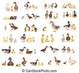 ducks - duck history on a white background