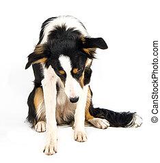 dog in studio - a portrait of a bordercollie in studio