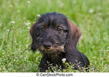 wire-haired dog - portrait front view
