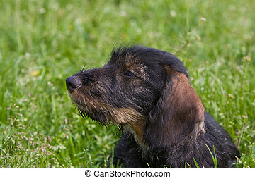 wire-haired dog - portrait side view