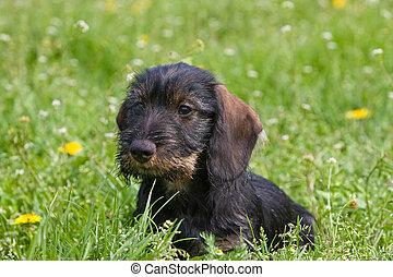 wire-haired dog - puppy sit down portrait
