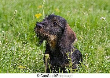 wire-haired dog - puppy in grasland