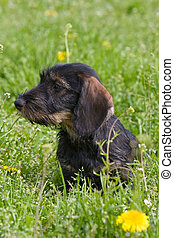 wire-haired dog - puppy side view