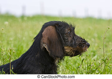 wire-haired dog - portrait puppy side view