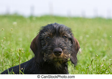 wire-haired dog - puppy front view portrait