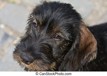 wire-haired dog - puppy portrait close up
