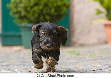 wire-haired dog running - puppy running