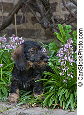wire-haired dog - puppy between flowers