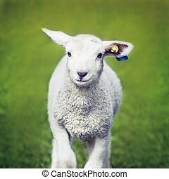 Happy Sheep - A cute, happy and playful lamb running on...