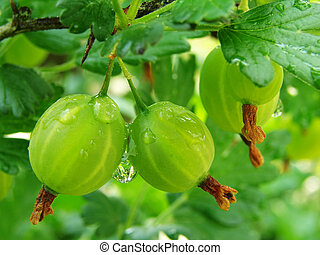 green gooseberries - some green gooseberries on the branch...