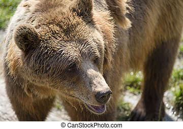 Brown Bear - A norwegian brown she-bear standing near to...