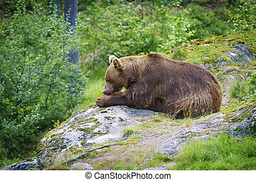 Big Brown Bear Eating Fish - A norwegian brown male-bear...