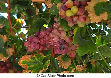 grape vine - bunch of colorful grapes hanging on the vine...