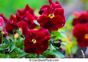 Maroon Pansy Flowers on Flower Bed, close up