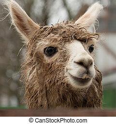 Alpaca Vicugna pacos - Closeup portrait of alpaca Vicugna...
