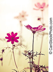 Vintage cosmos flower - cosmos flowers in sunset time on...