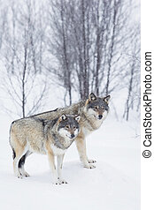 Three Wolves in the Snow - Wolf in a norwegian winter forest...