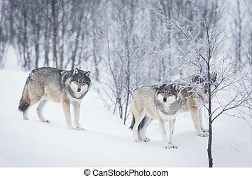 Three Wolves in the Snow - Wolf in a norwegian winter...